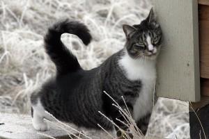 american-shorthair-cat-2918492