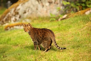 Cat_ocicat_shutterstock_1039055575