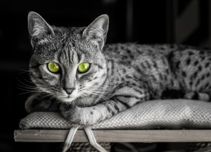 Cat_Spotted_01_shutterstock_240832024
