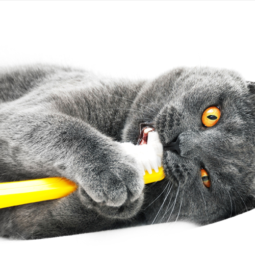 Cat_Brushing_shutterstock_124082872 500x500