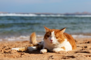 Cat_Beach_shutterstock_68769460