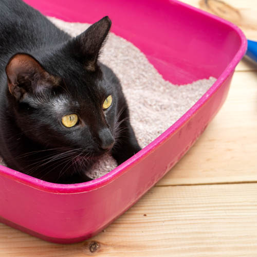 Cat_InLitterbox_shutterstock_1115725295 500x500